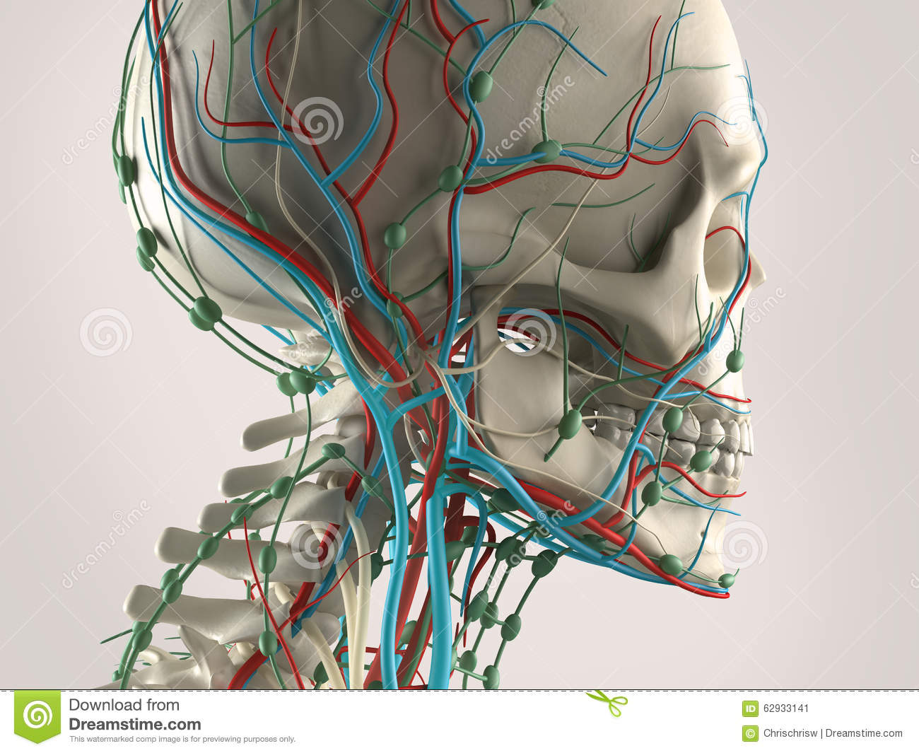 A human anatomy with a view of head, showing the skeleton and vascular system.