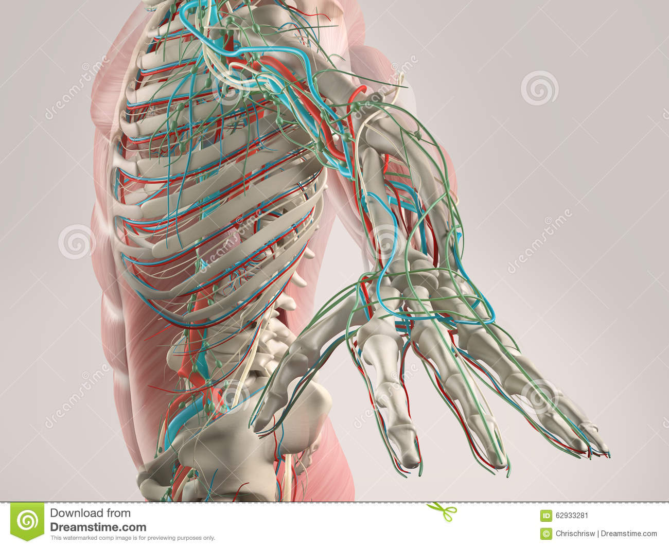 Human Anatomy View Of Torso And Arm. Stock Image - Image of torso ...