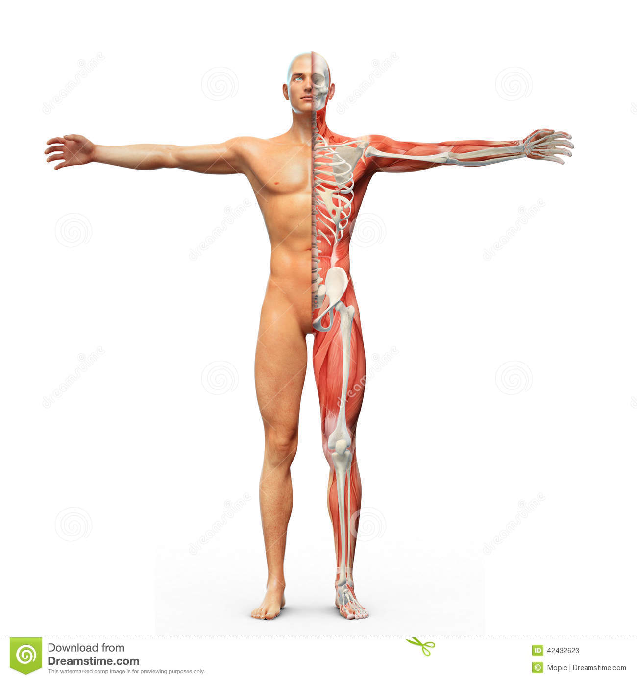 Human anatomy stock illustration. Illustration of muscle - 42432623