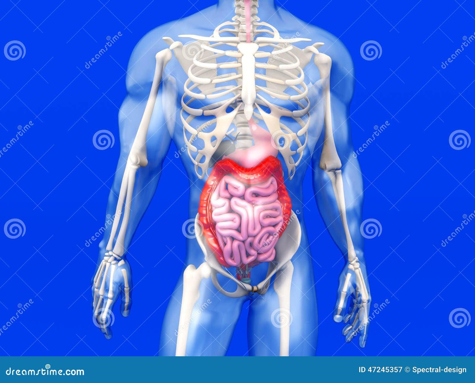 Human Anatomy Visualization - Digestive System Stock Illustration ...