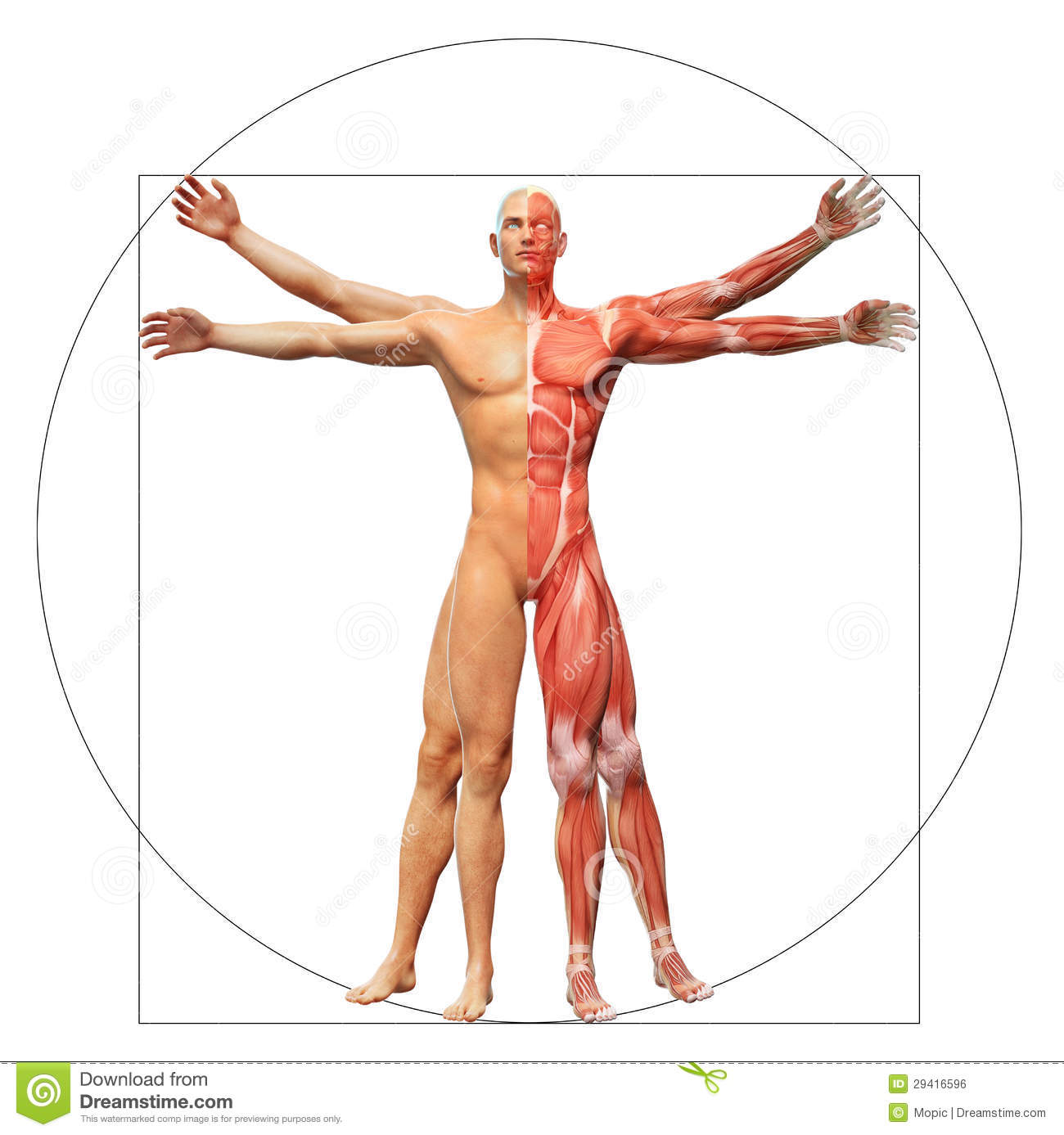 Muscle Map Man Anatomy Isolated Stock Illustration Illustration Of