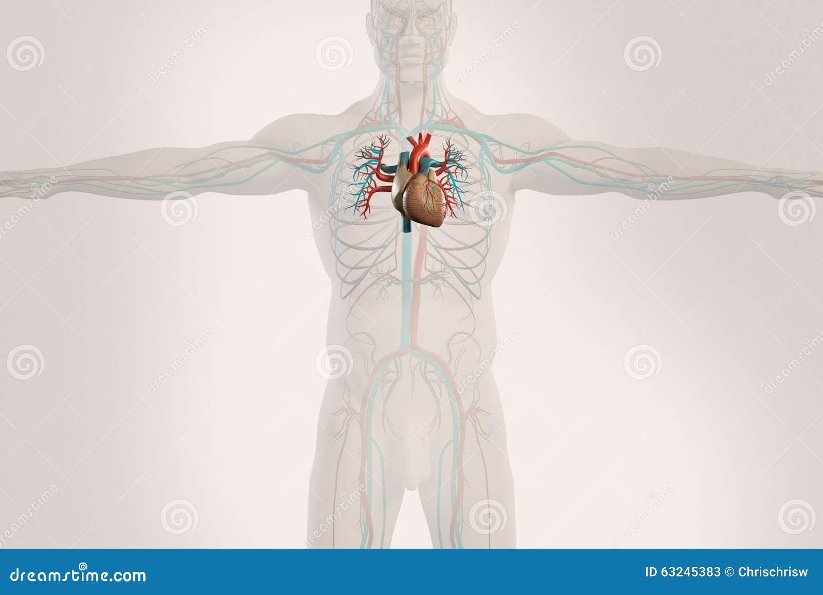 Human Anatomy Xray View Of Circulatory System On Light Background