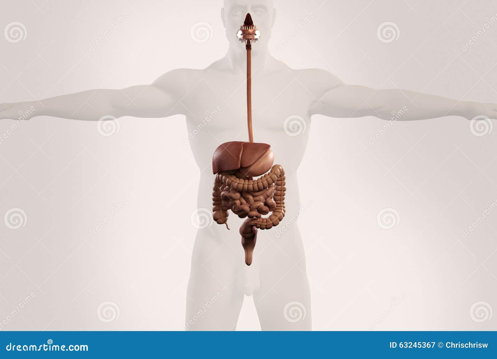 outline of digestive system