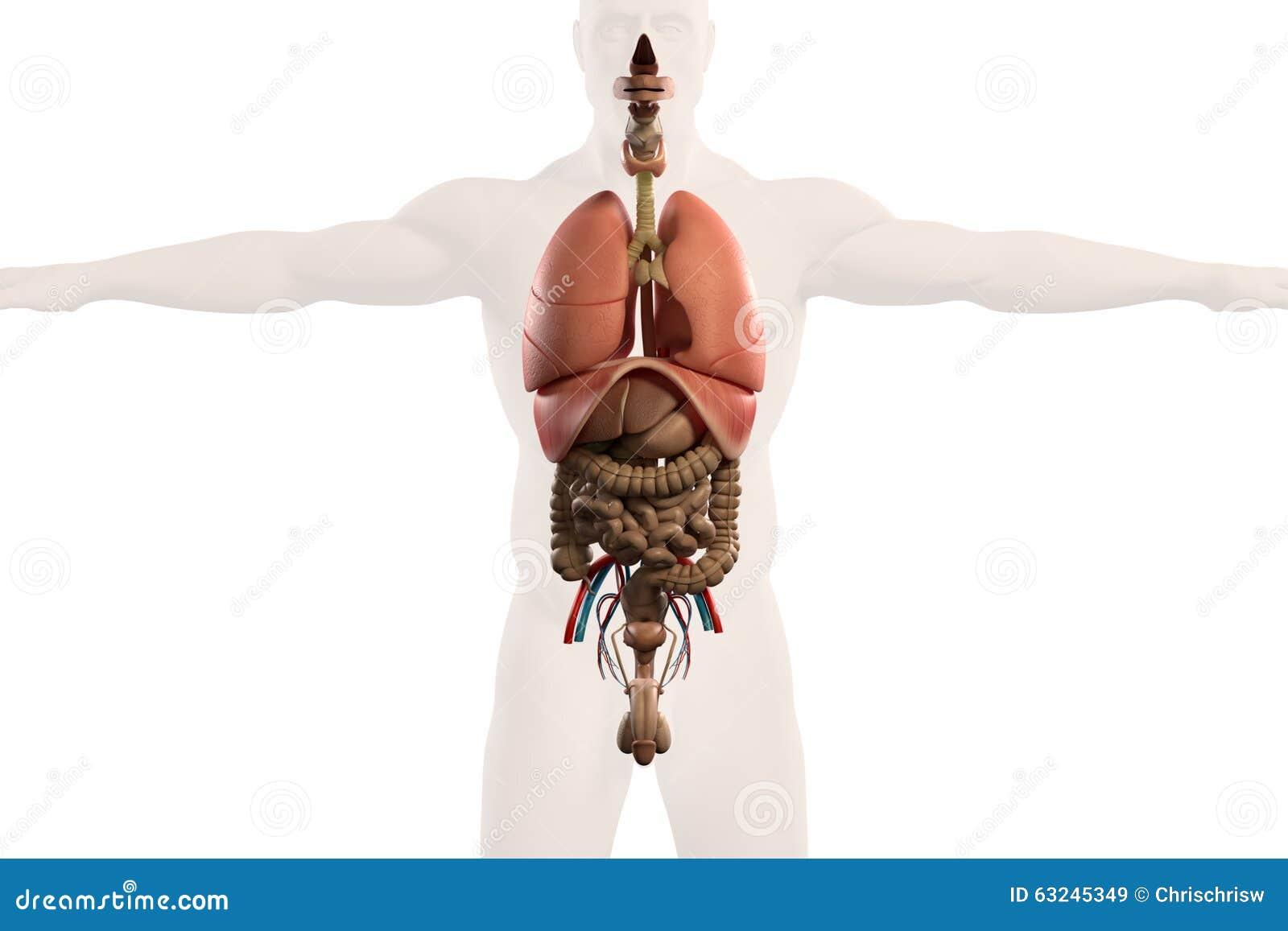 Human Anatomy Xray View Of Intestines, On Plain Whit Stock ...