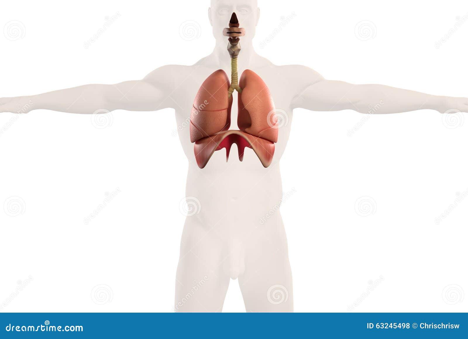 Human Anatomy Xray View Of Respiratory System, On Plain White ...