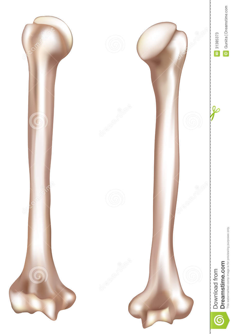 human arm bone- humerus stock photos - image: 31385373, Cephalic Vein