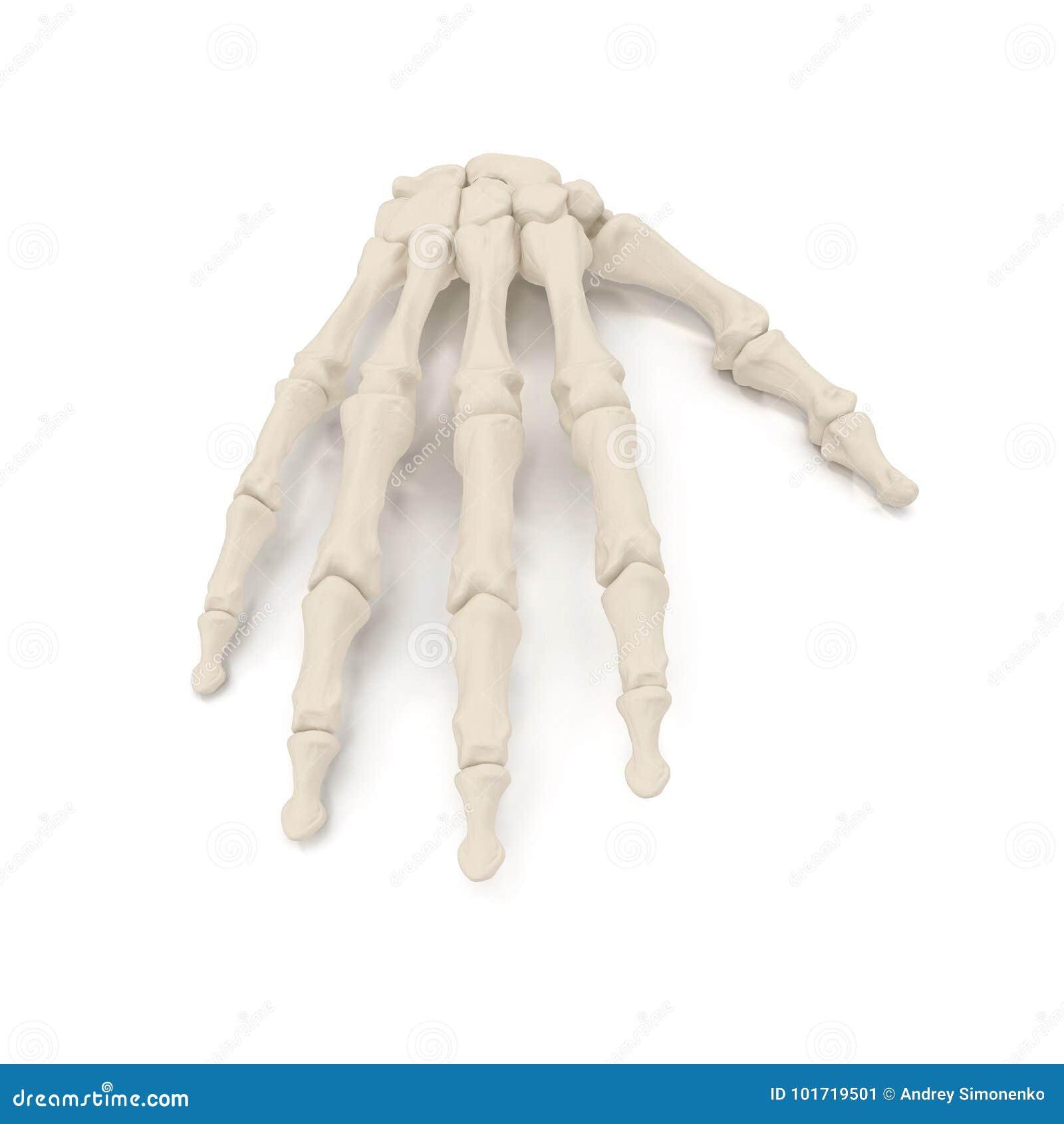 Human Arm Bones On White 3d Illustration Stock Illustration