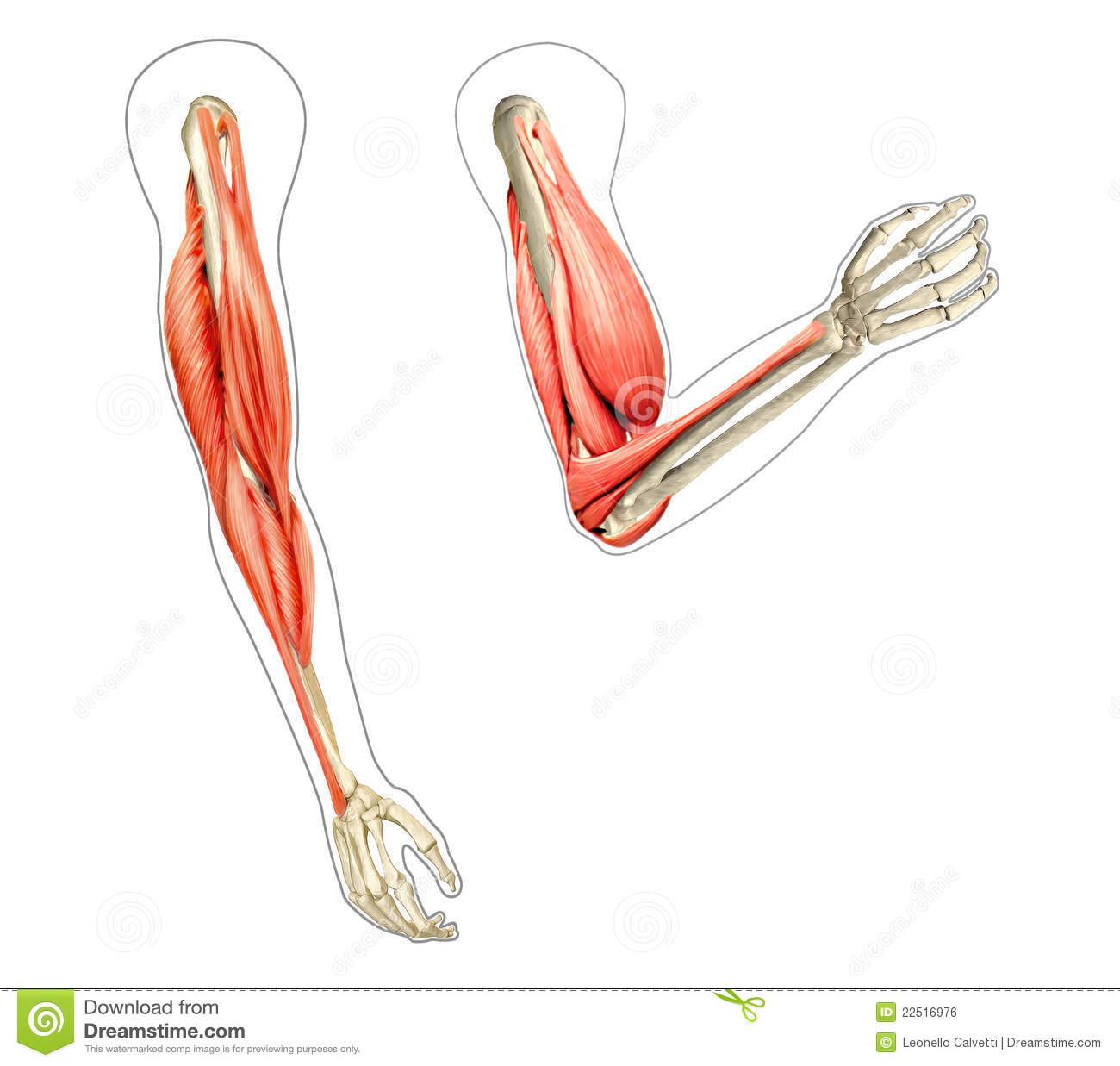 Body Regions Diagram Blank In Color Experience Of Wiring Full Muscle Anatomy Muscles Labeled Anatomical Arm Blogs Rh 9 5 Restaurant Freinsheimer Hof De Abdominal Quadrant