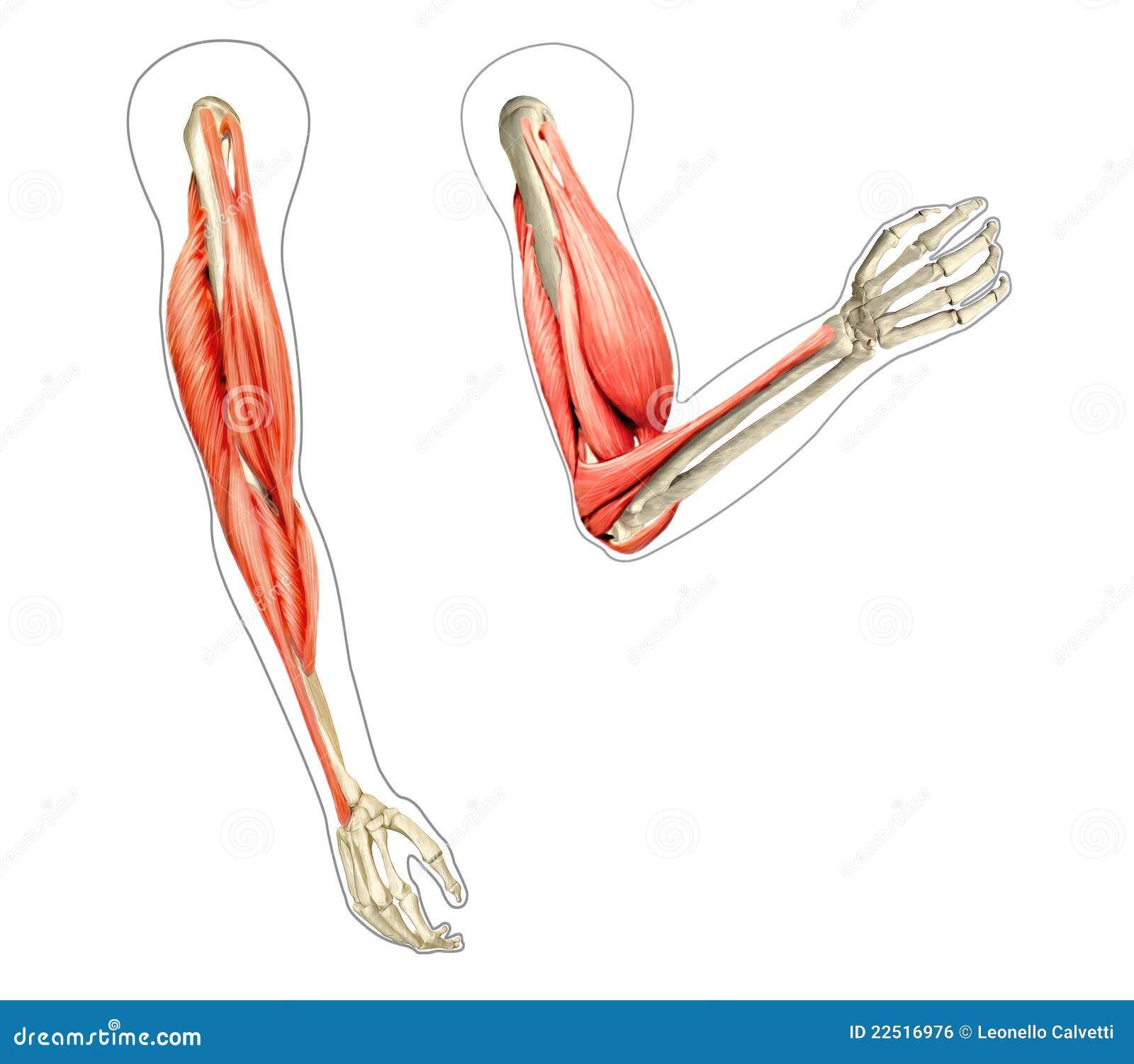 Human Arm Diagr... Human Arms