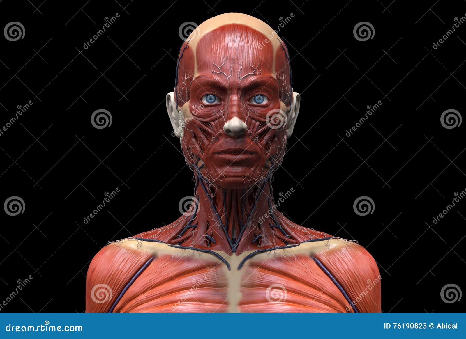 Human Body Anatomy Of A Female Stock Illustration Illustration Of