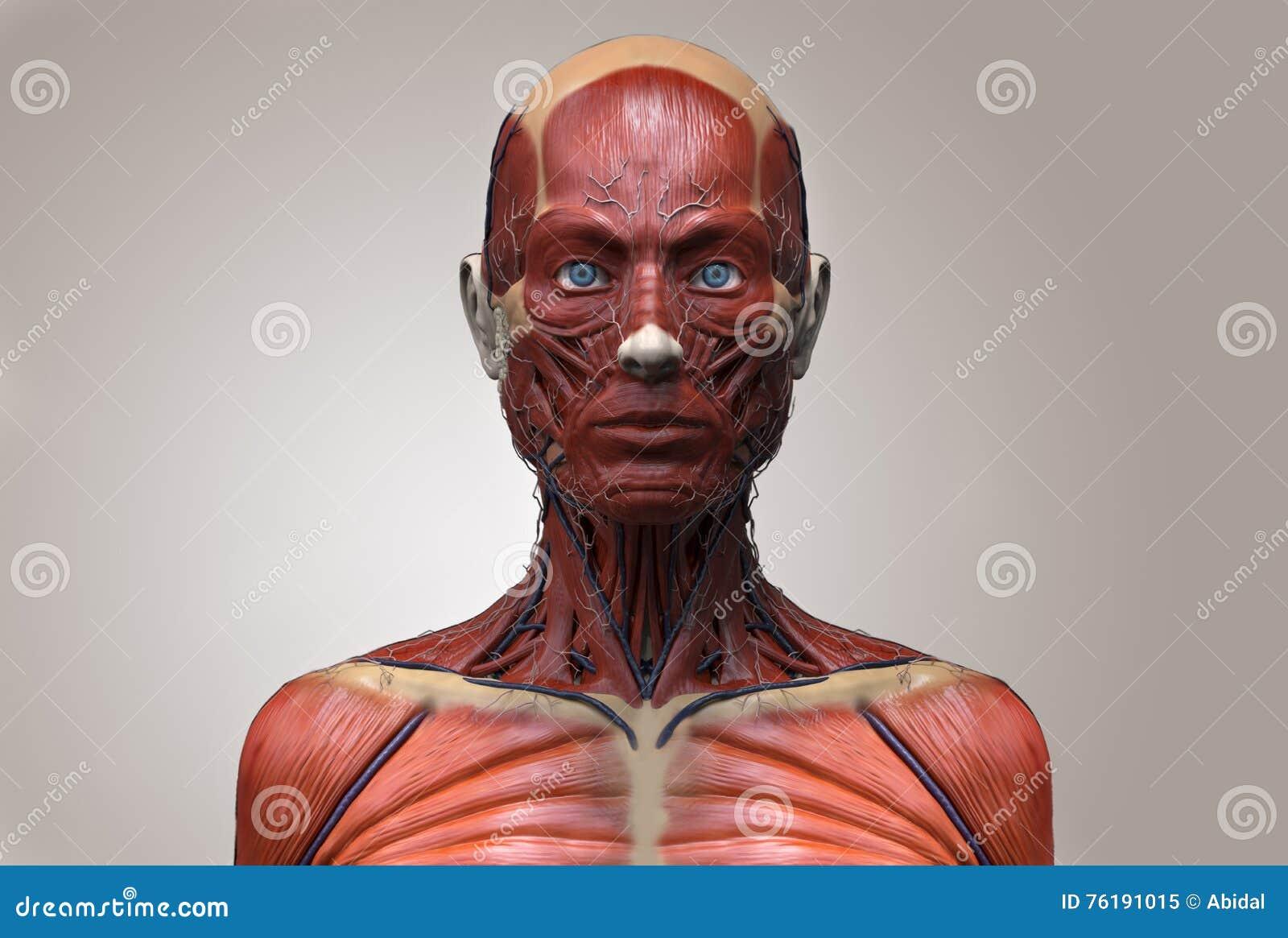 human body anatomy of a female