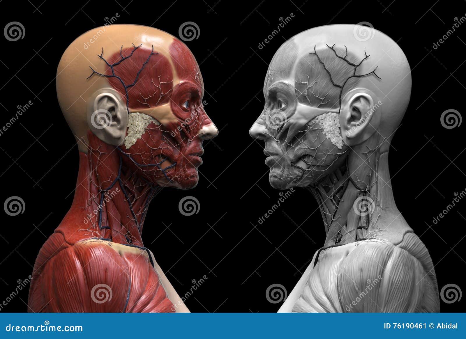 Human Body Anatomy Of A Female Stock Illustration - Illustration of ...