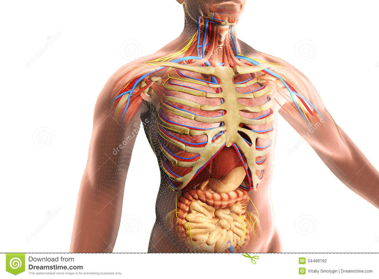 The human body anatomy stock illustration. Illustration of century ...