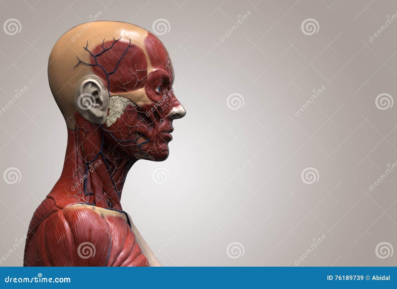 Human body anatomy stock illustration. Illustration of head - 76189739