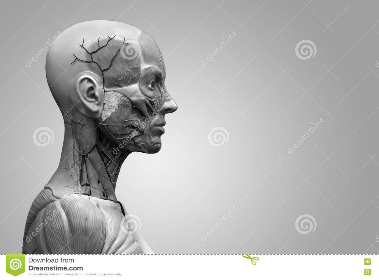 Human Body Anatomy Stock Illustration Illustration Of Diagram