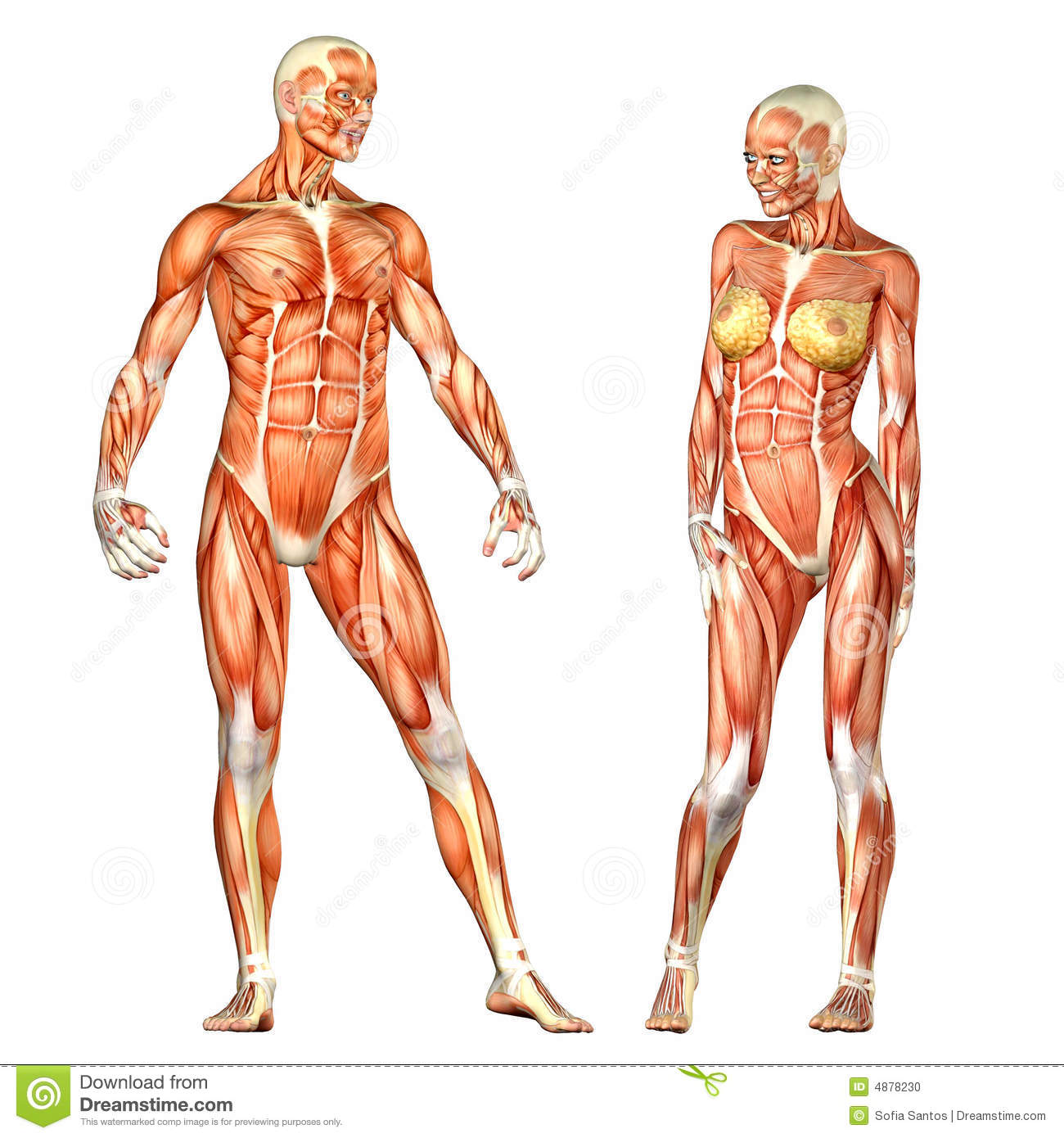 Human Body Anatomy Male And Female Stock Illustration