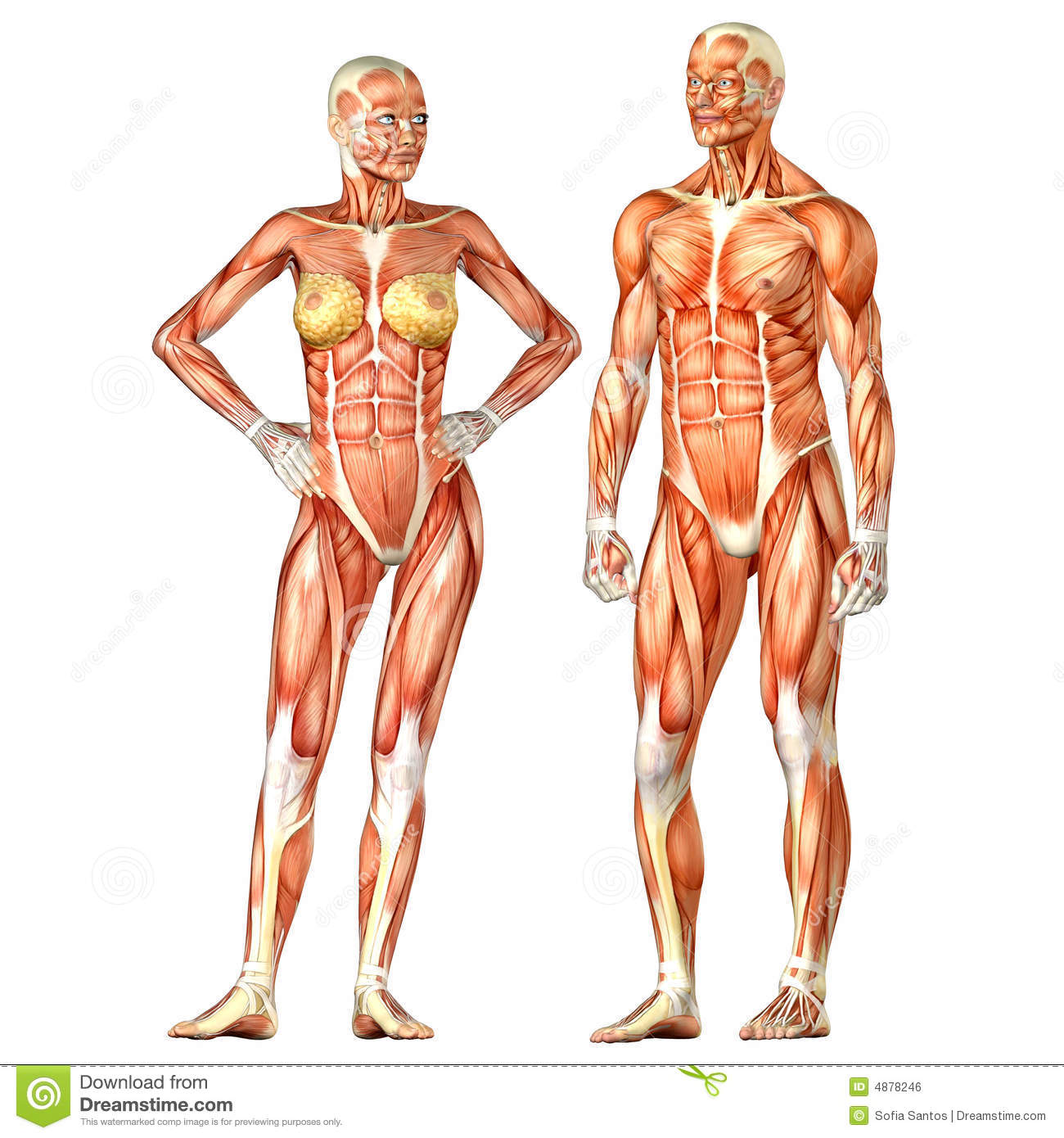 Human Body Anatomy - Male And Female Stock Illustration ...
