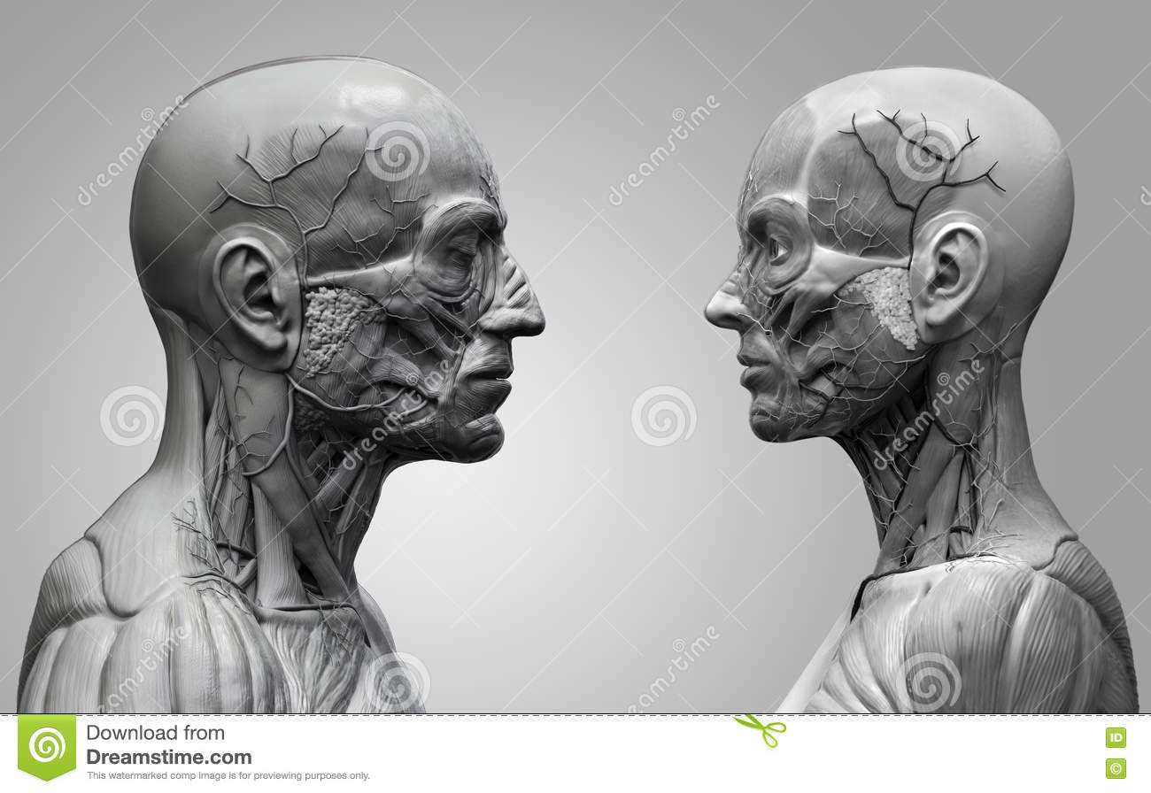 Human Body Anatomy Male And Female Stock Illustration - Illustration ...