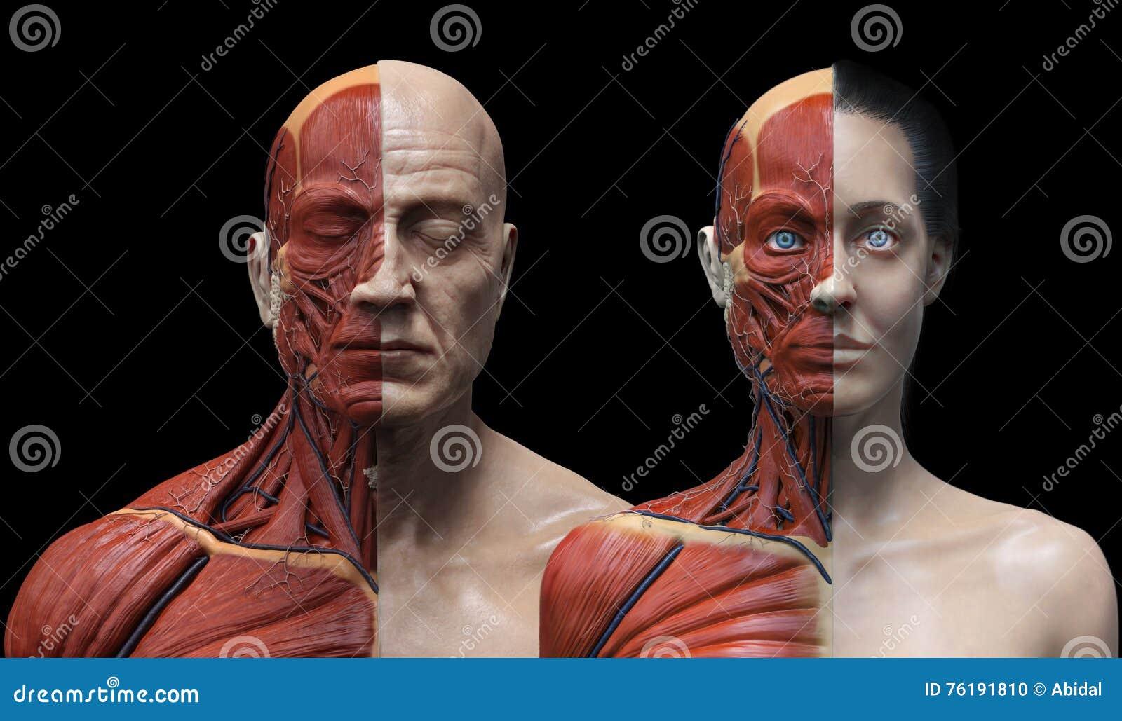 Human Body Anatomy Male And Female Stock Illustration Illustration