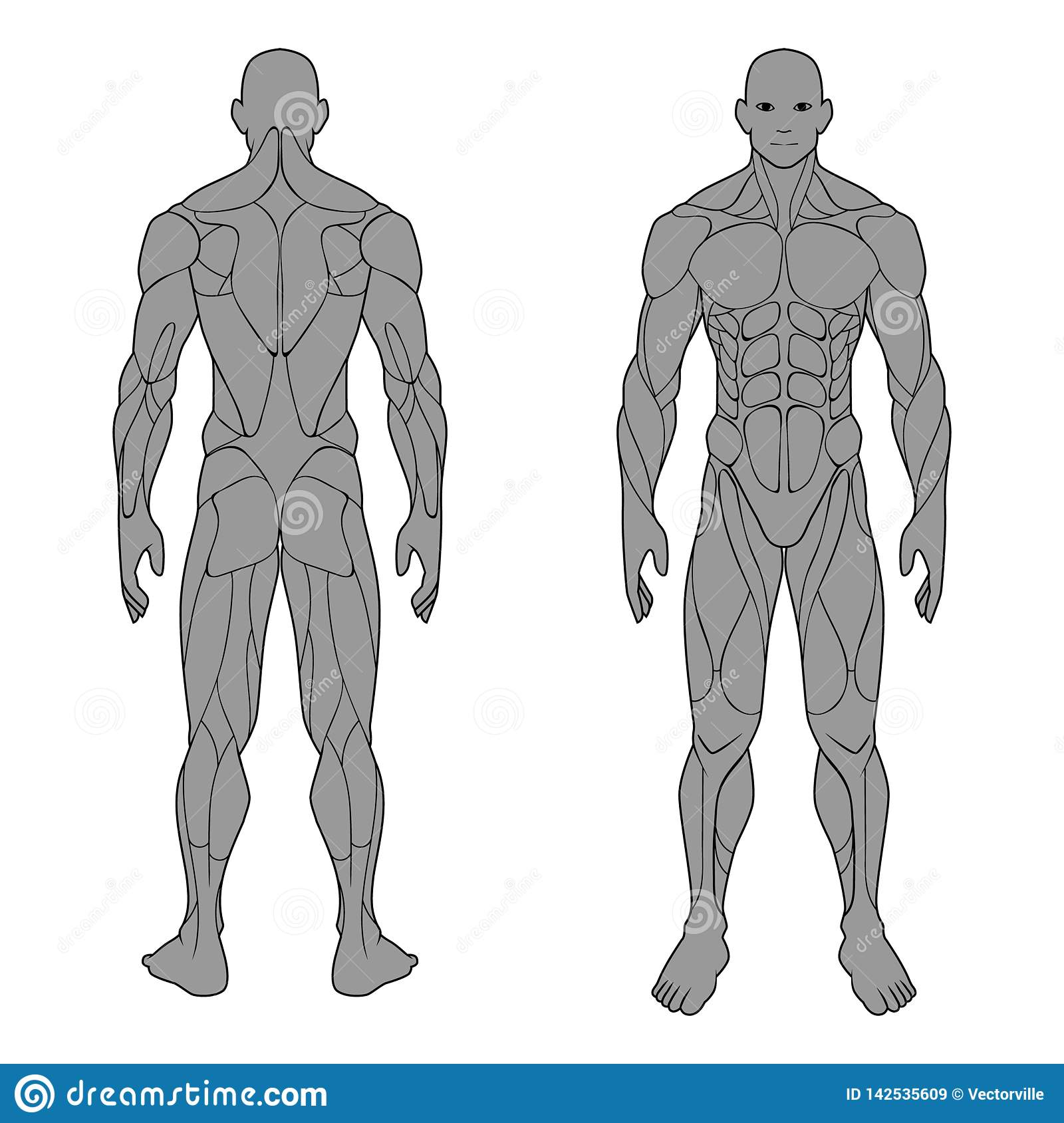 Human Body Anatomy Male Man , Front And Back Muscular System