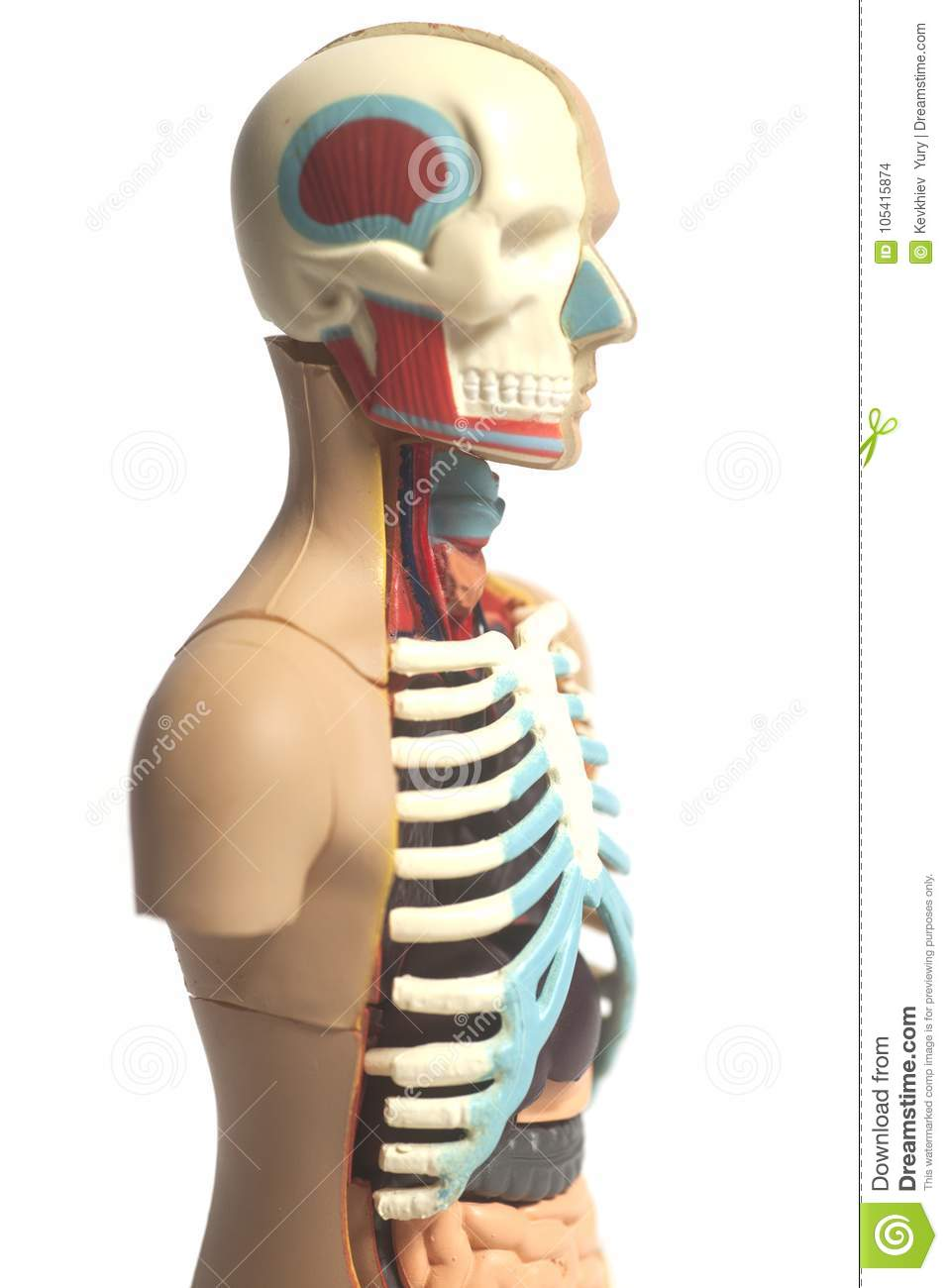 Human Body Anatomy Model Stock Photo Image Of Cage 105415874