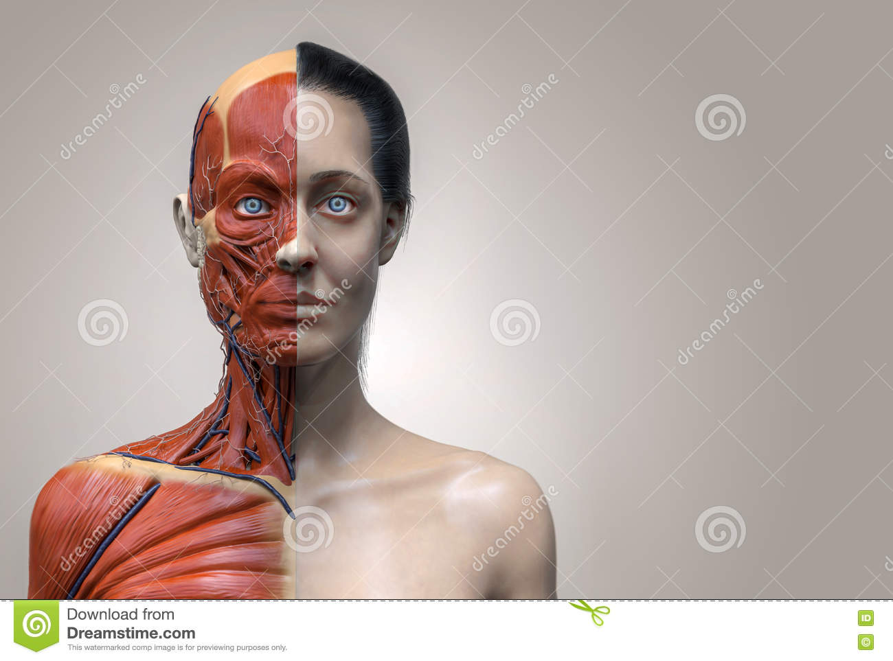 Human Body Anatomy Of Woman Stock Illustration - Illustration of ...