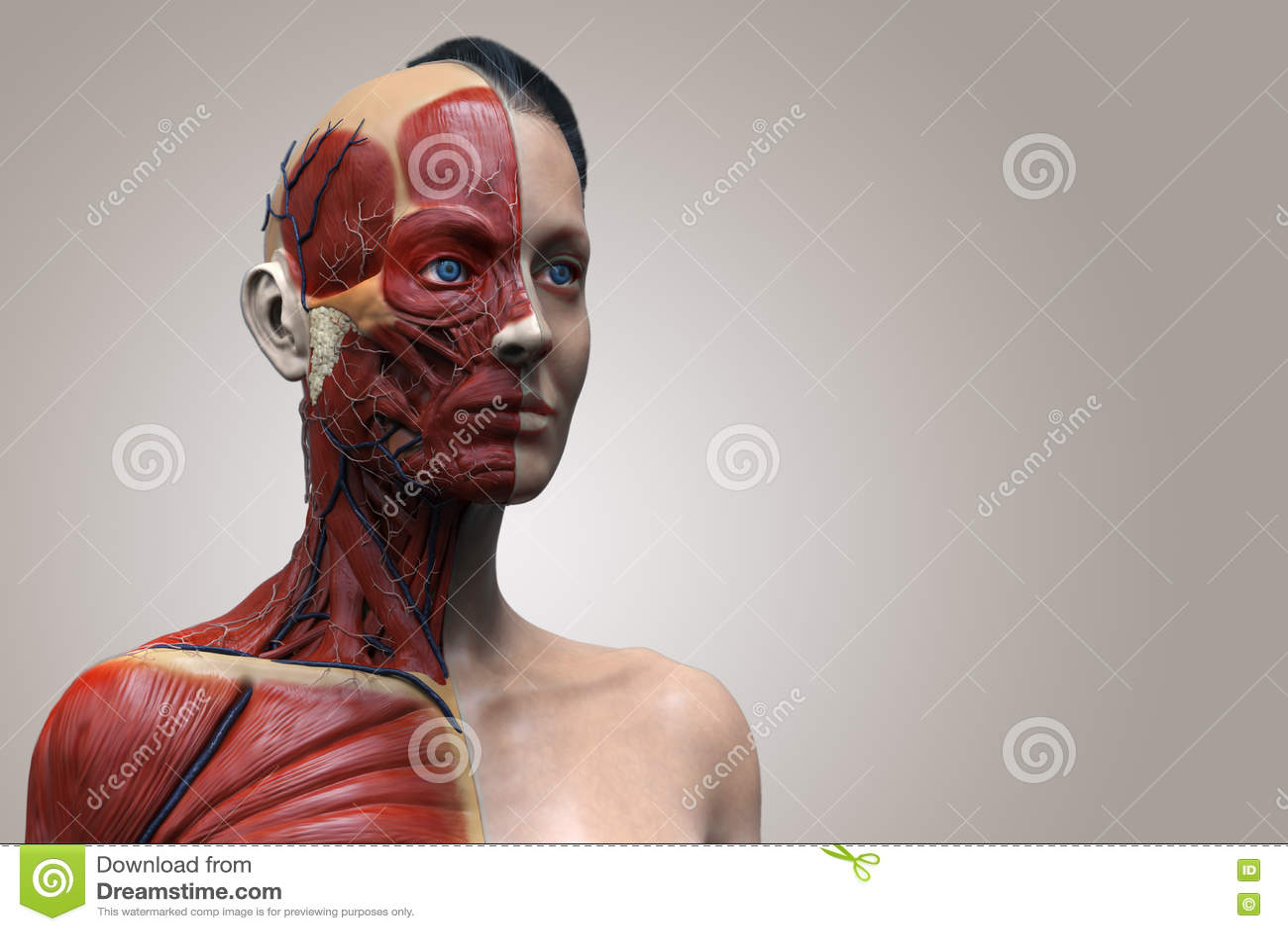 Human Body Anatomy Of Woman Stock Illustration Illustration Of