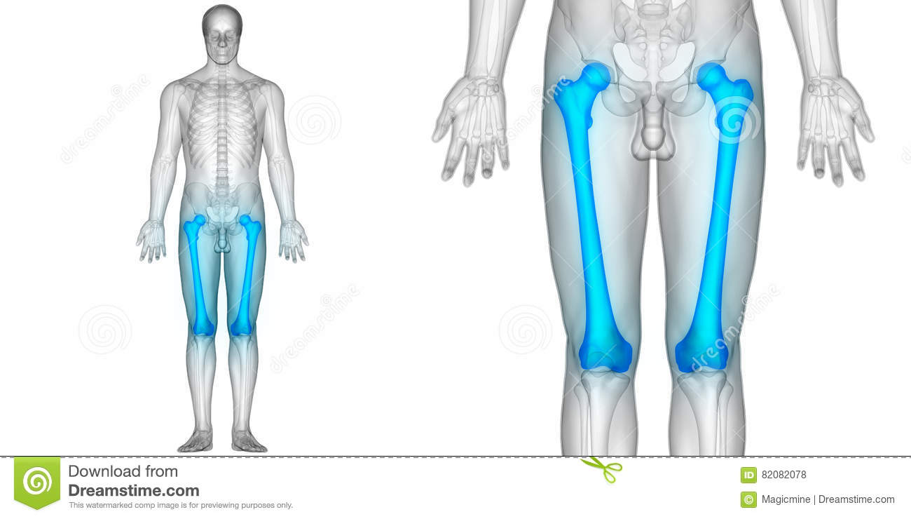 Human Body Bone Joint Pains Anatomy Femur Bones Stock Illustration