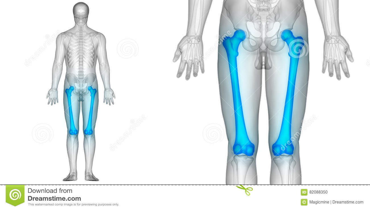 Human Body Bone Joint Pains Anatomy Femur Bones Posterior View Stock ...