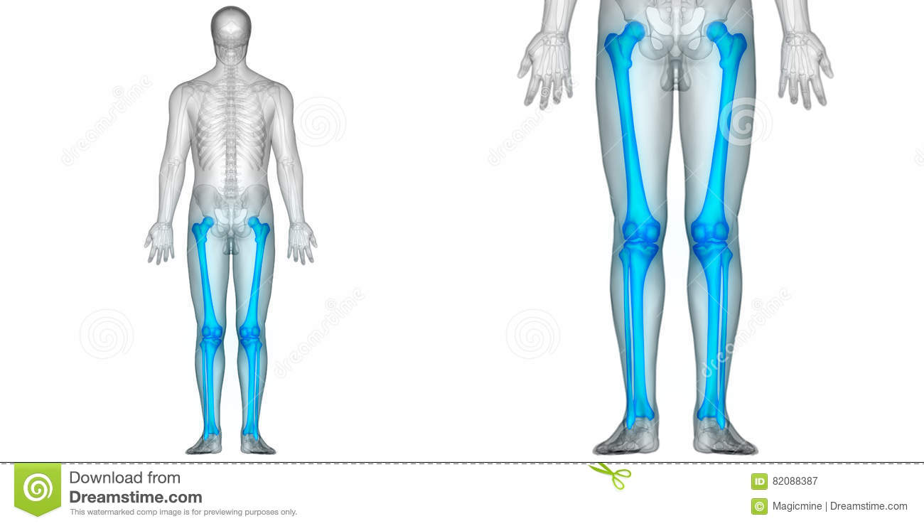 Human Body Bone Joint Pains Anatomy Femur With Fibula And Tibia ...