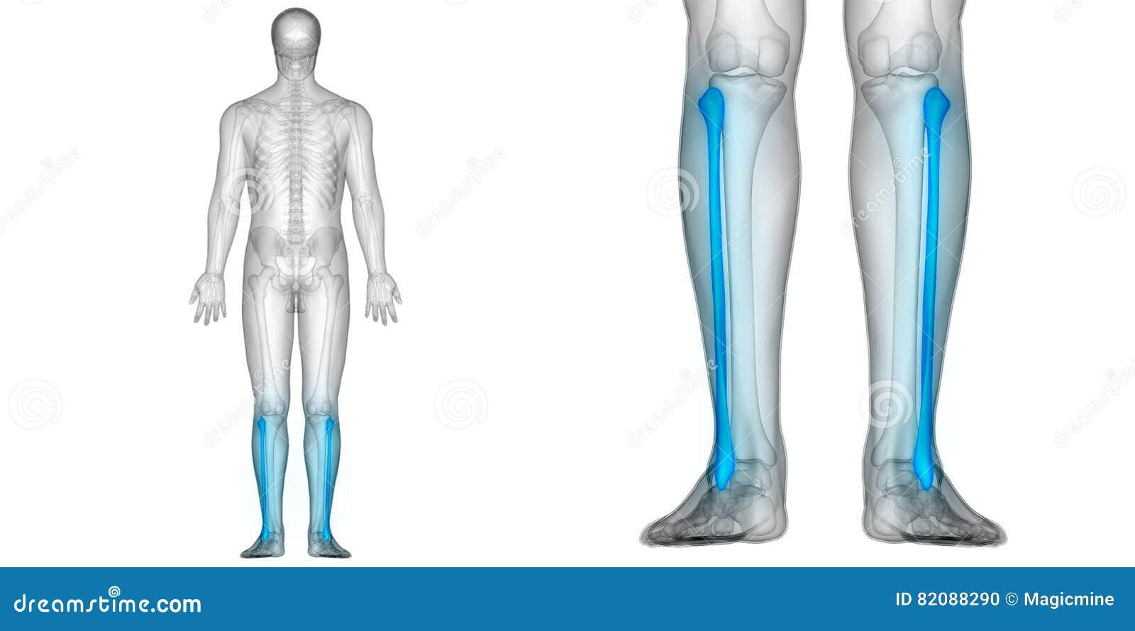 Human Body Bone Joint Pains Anatomy Fibula Bones Posterior View