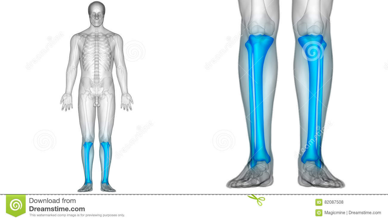 Human Body Bone Joint Pains Anatomy Fibula And Tibia Bones Stock ...