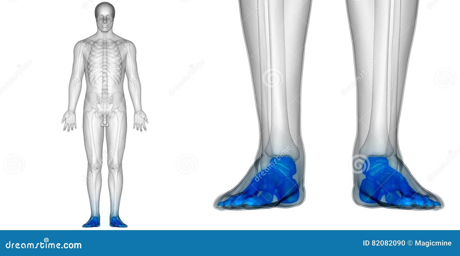 Human Body Bone Joint Pains Anatomy Foot Joints Stock Illustration