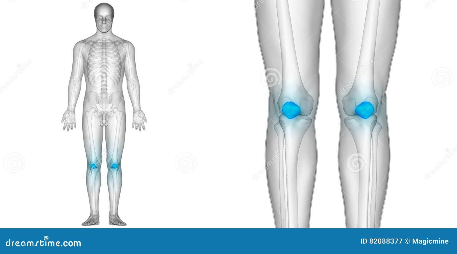 Human Body Bone Joint Pains Anatomy Patella Bones Stock Image ...
