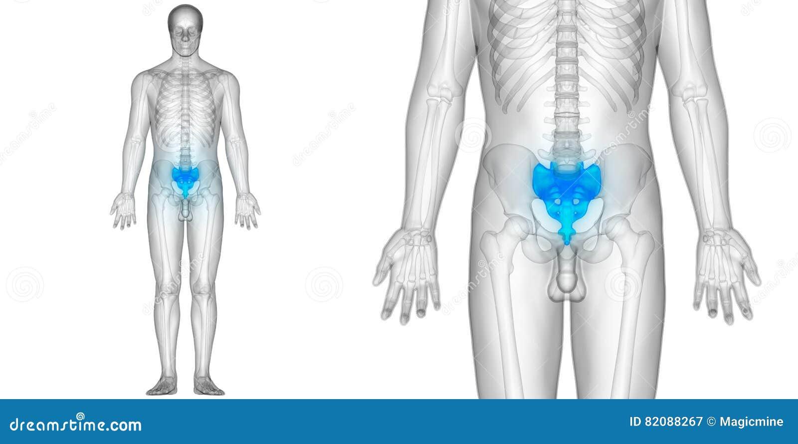Human Body Bone Joint Pains Anatomy Sacrum Stock Illustration ...