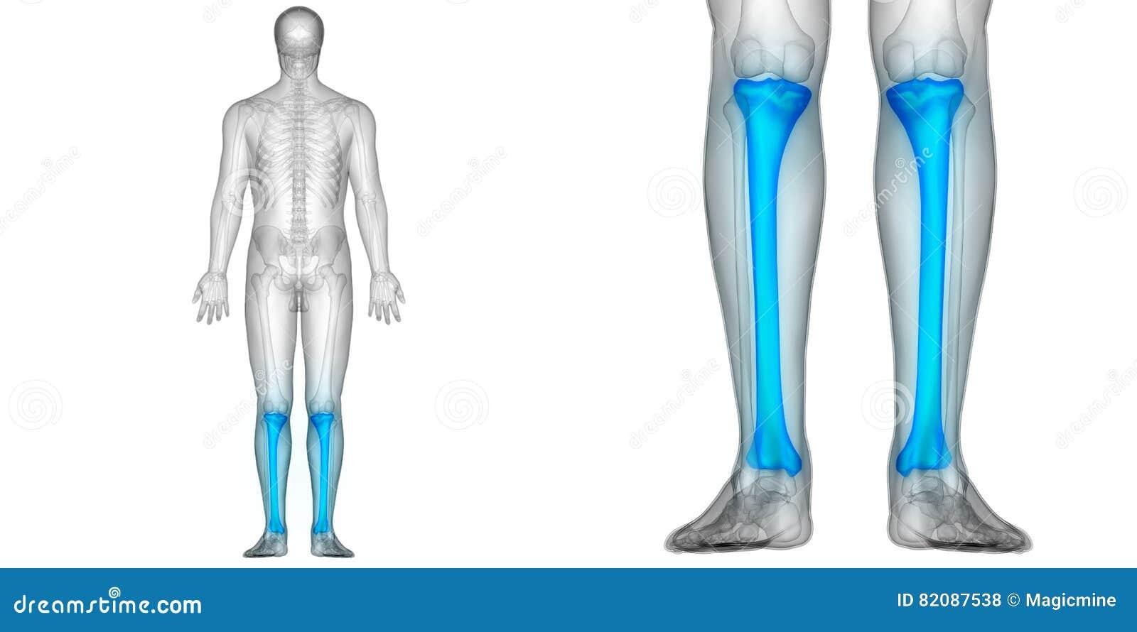 Human Body Bone Joint Pains Anatomy Tibia Bones Posterior View Stock ...