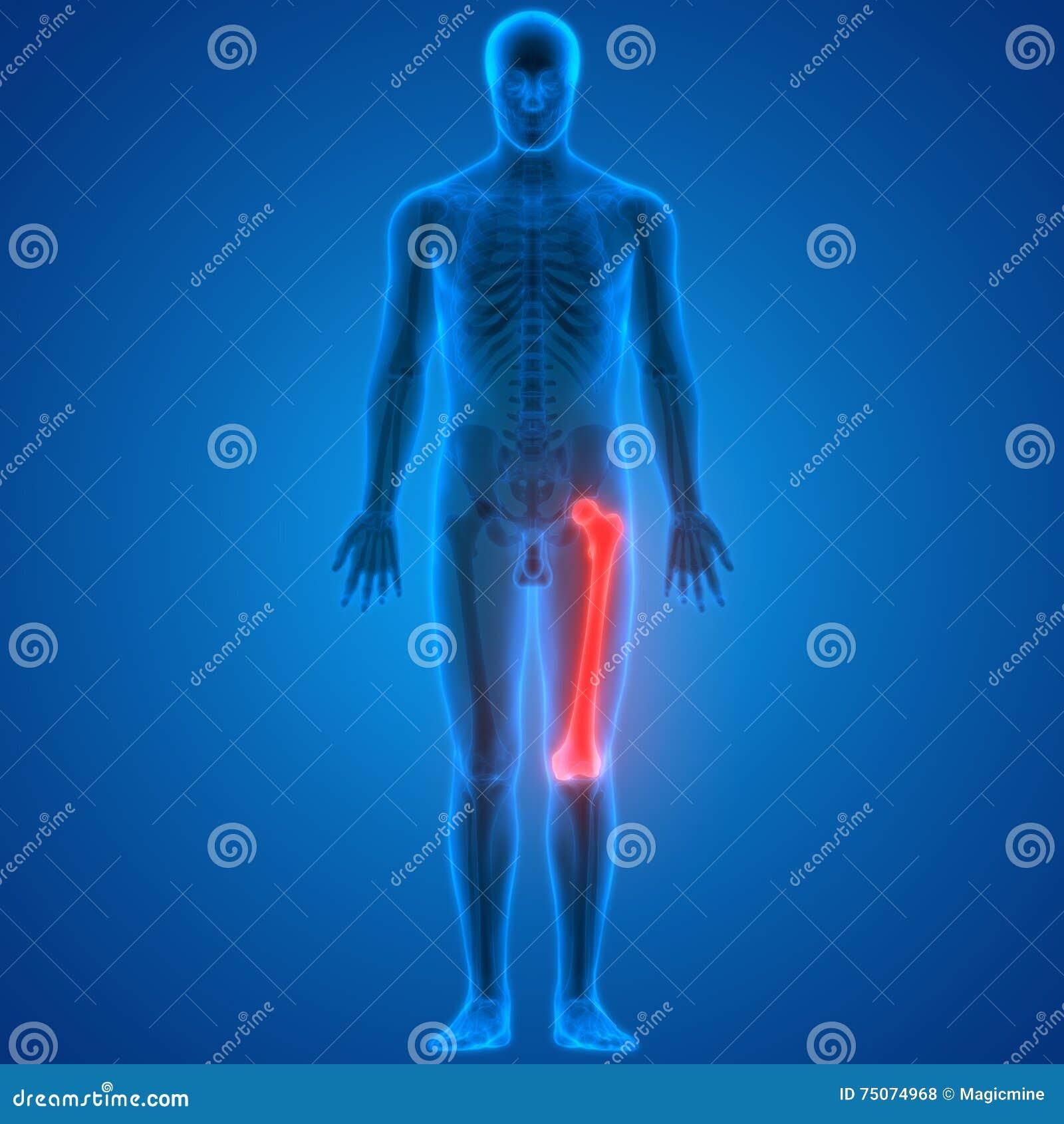 Human Body Bone Joint Pains Femur Bone Anatomy Stock Illustration
