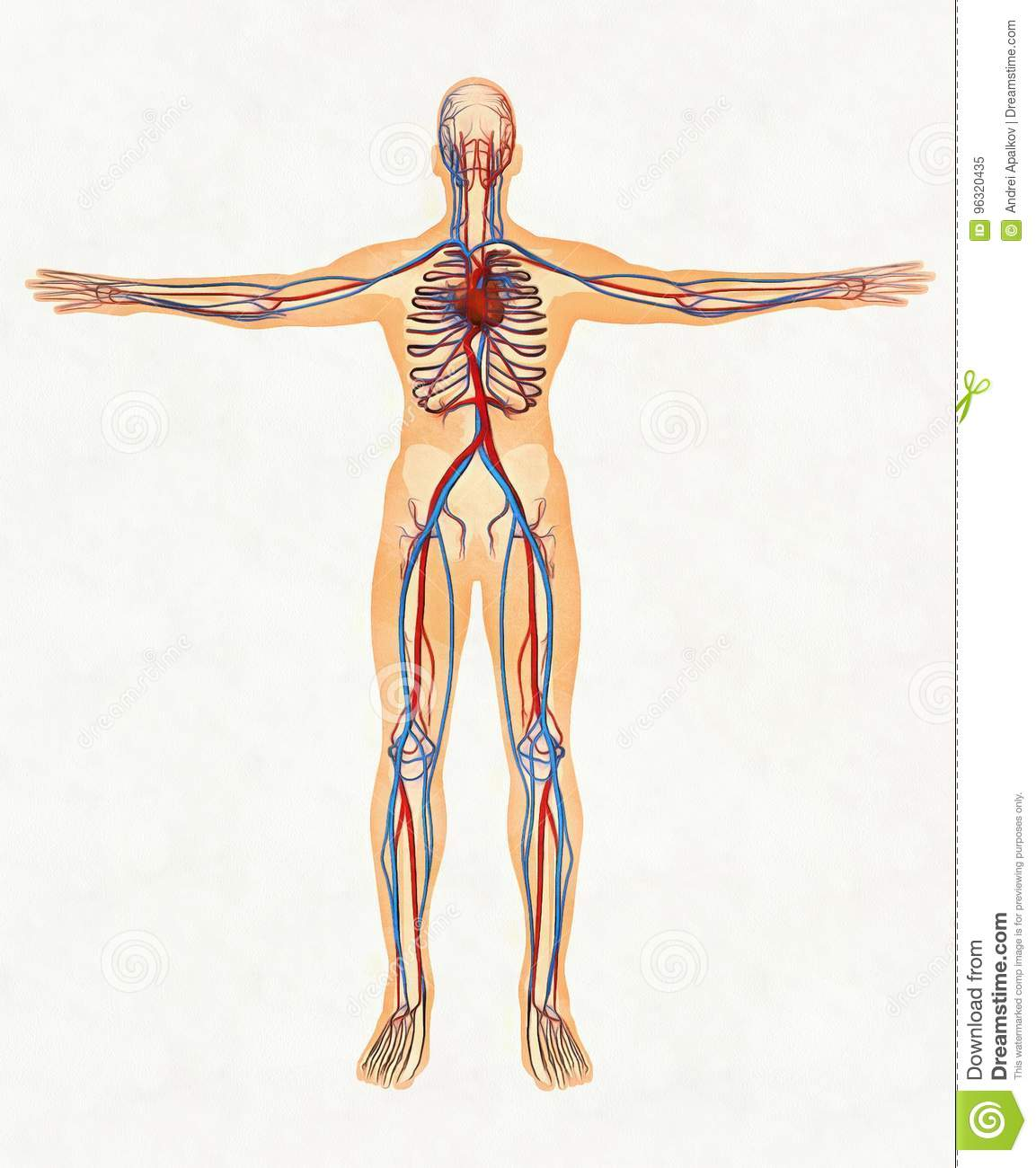 Human Body And Circulatory System Stock Image Image Of Body