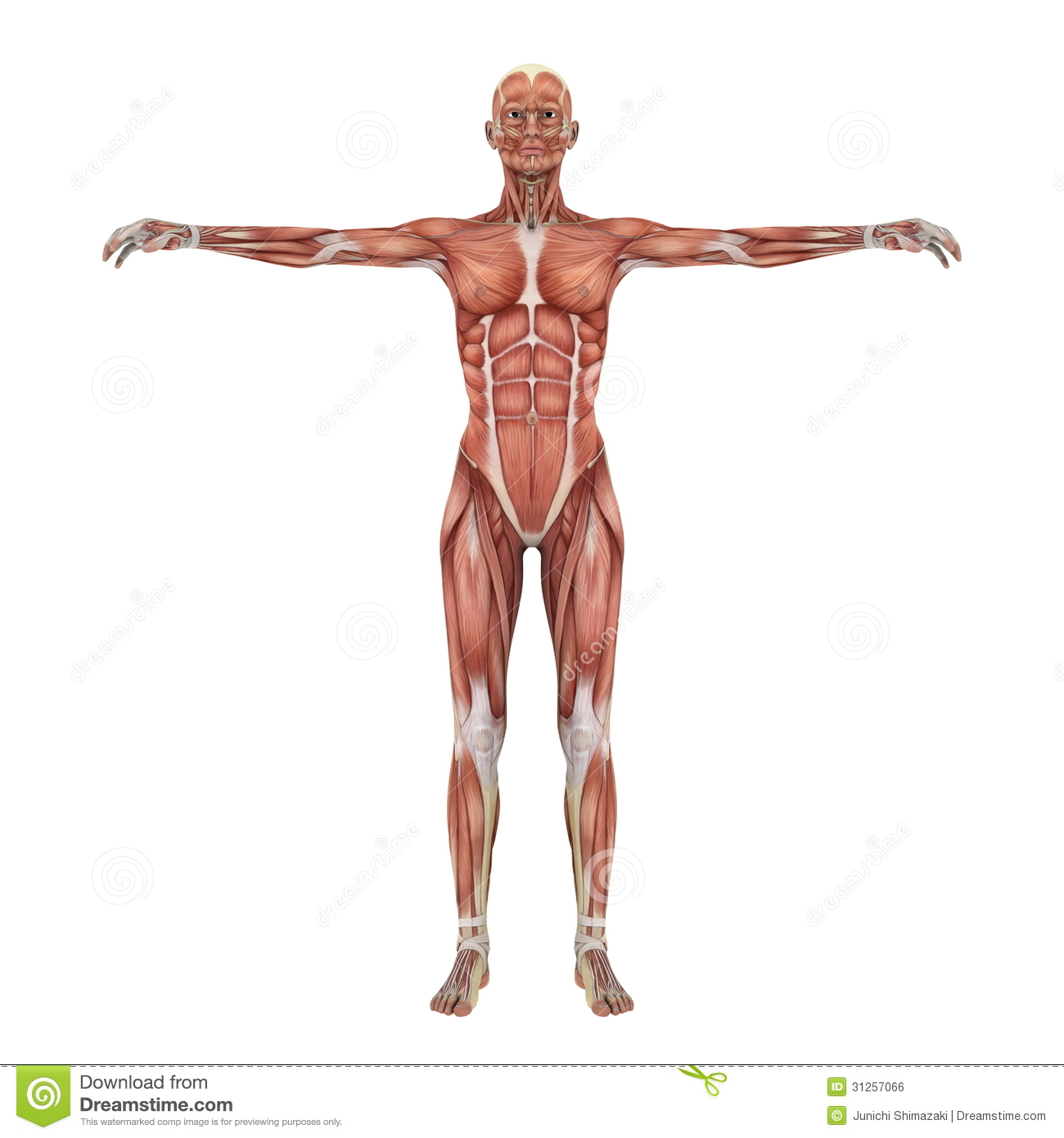 Human body stock illustration. Illustration of science - 31257066