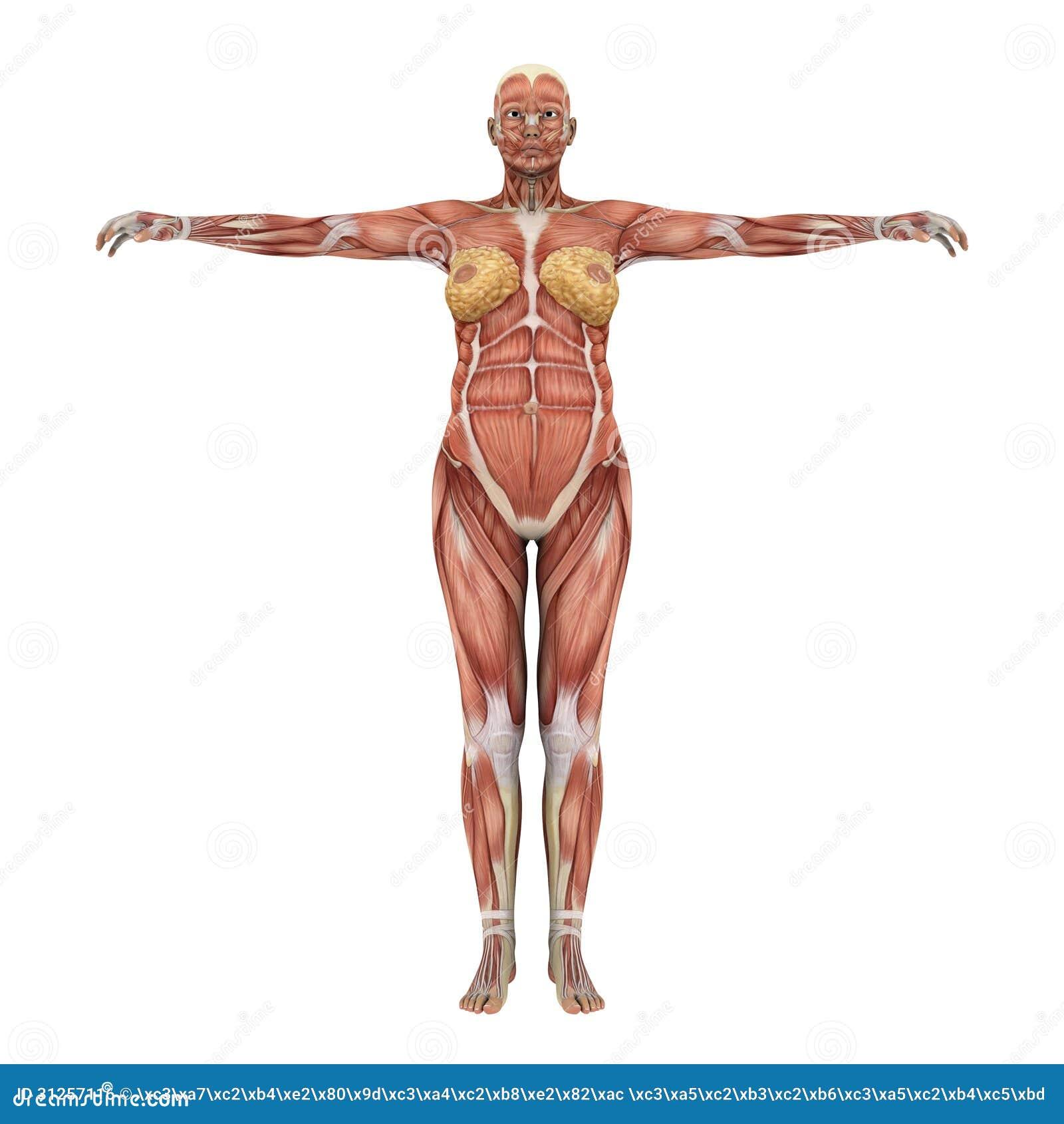 Human Body Stock Illustration Illustration Of Human 31257116