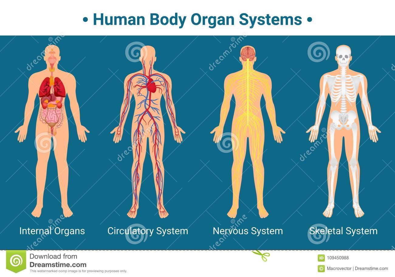 Human Body Organ Systems Poster Stock Vector Illustration Of Blood