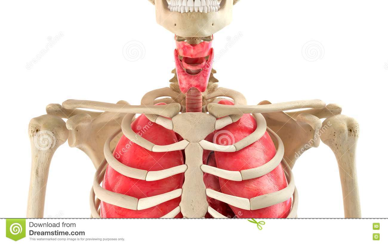 Human Body And Internal Organs 3d Rendering Stock Illustration ...