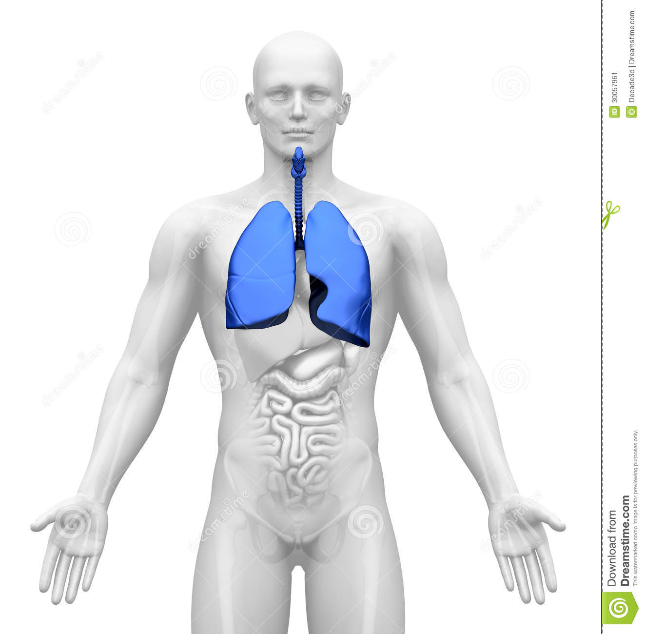Medical Imaging Male Organs Lungs Stock Illustration