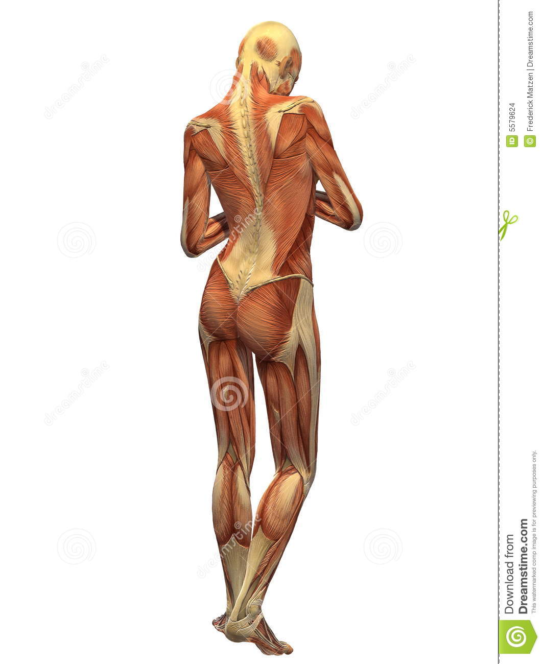 Human Body Muscle Female Back Stock Illustration Illustration Of