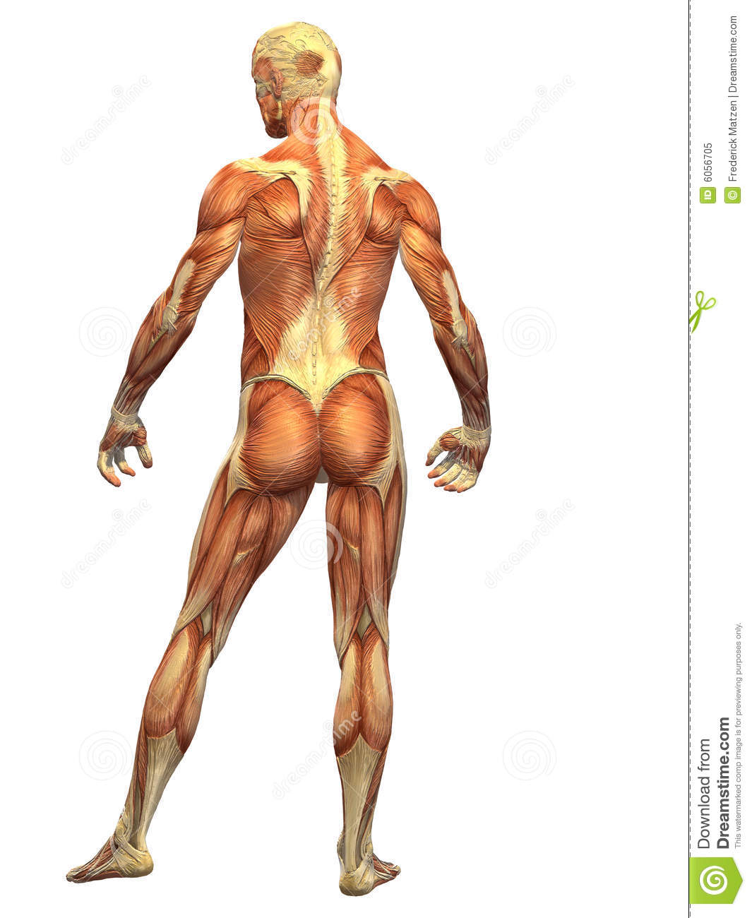 Human Body Muscle - Male Back Stock Illustration - Illustration of ...