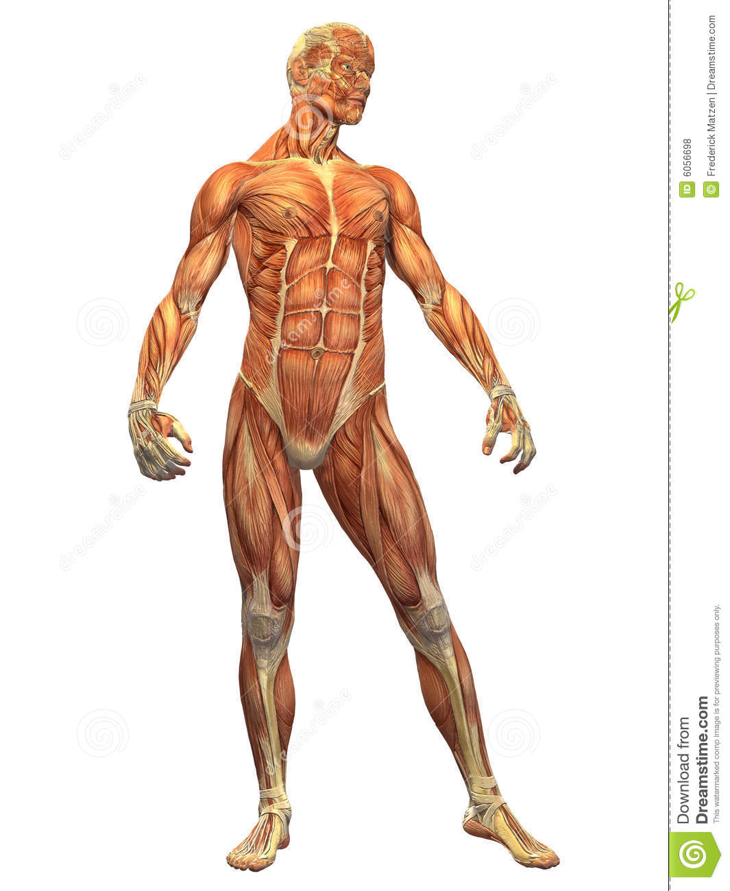 human body muscle - male front royalty free stock photos - image, Muscles