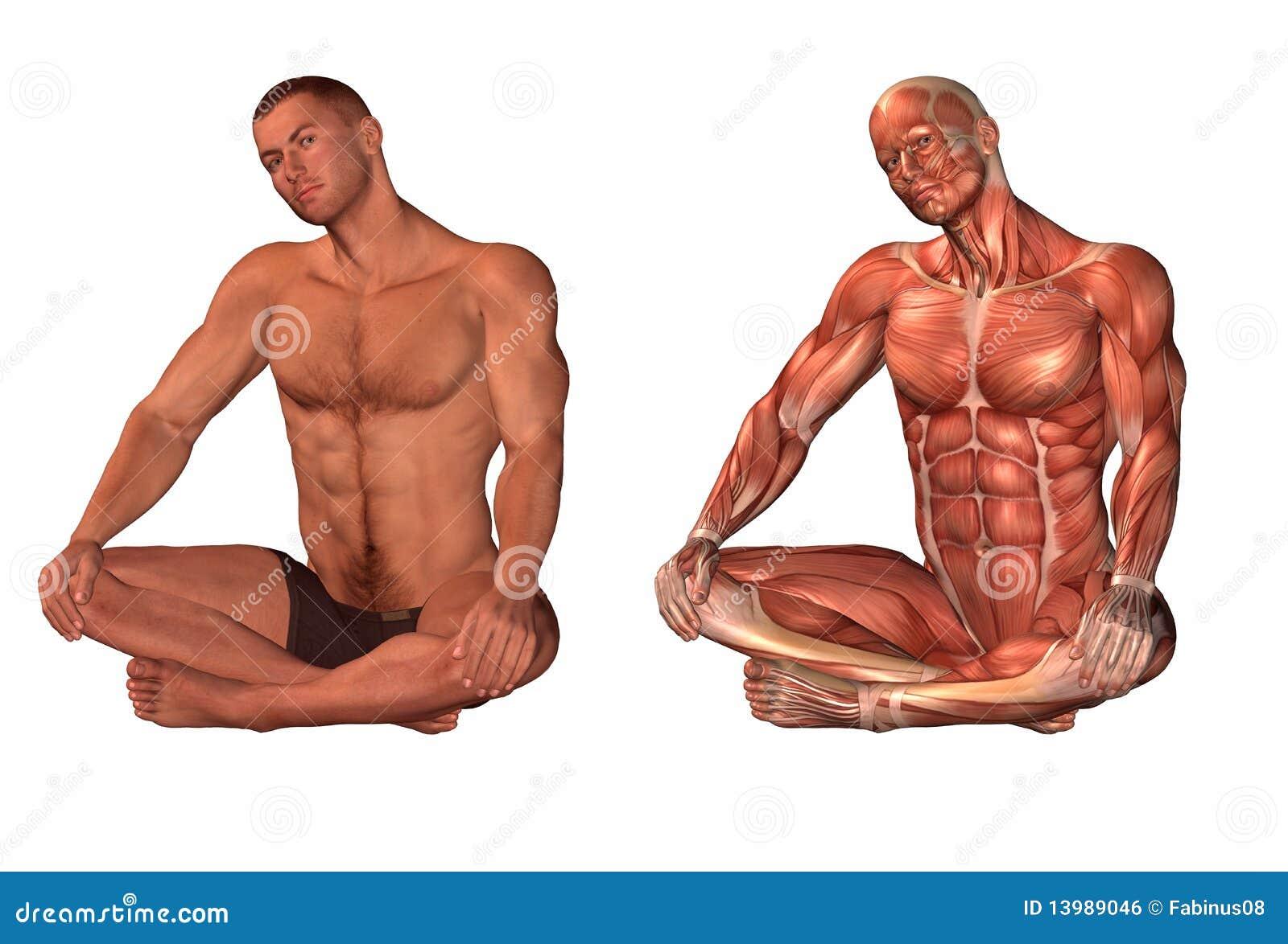 human muscle body – applecool, Muscles