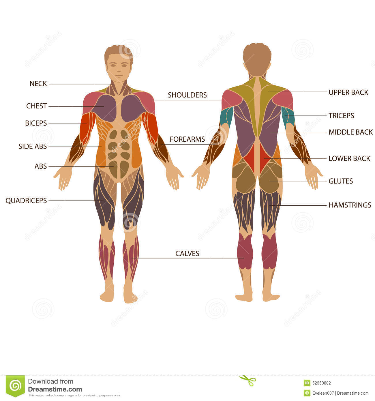 Human body, muscle stock vector. Illustration of back - 52353882