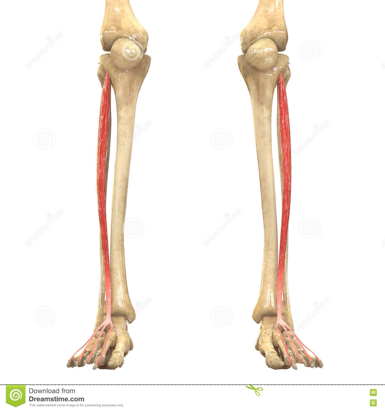 human body muscles anatomy (extensor digitorum longus) stock, Human Body