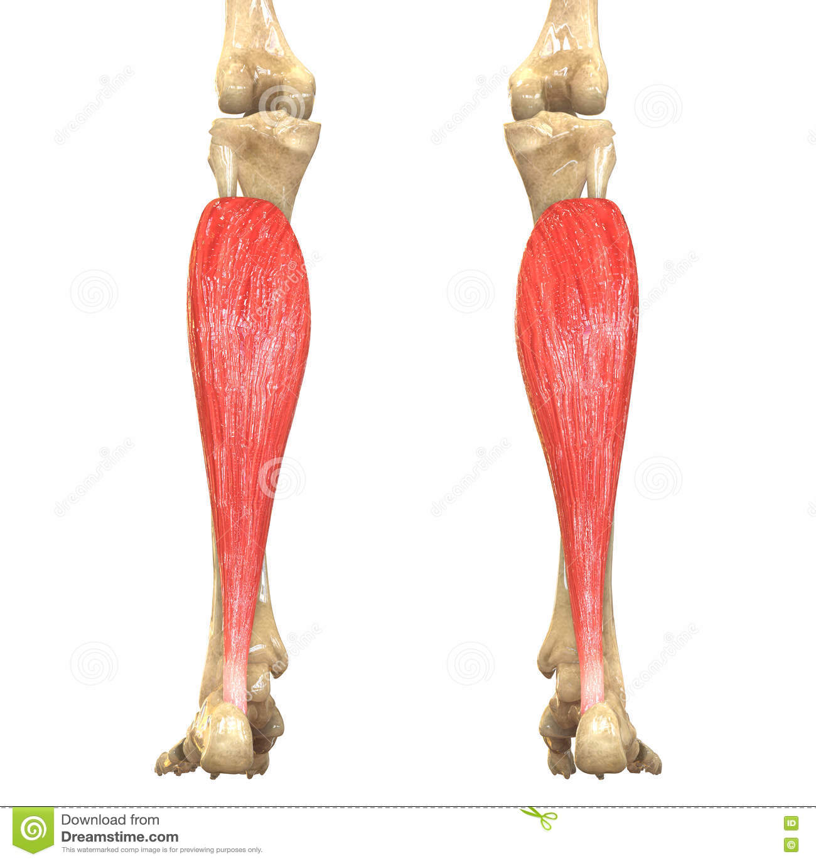 Human Body Muscles Anatomy Soleus Stock Illustration